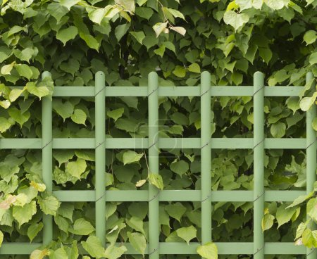 Photo for The fence of the shrubs linden and picket, seamless, horizontal - Royalty Free Image