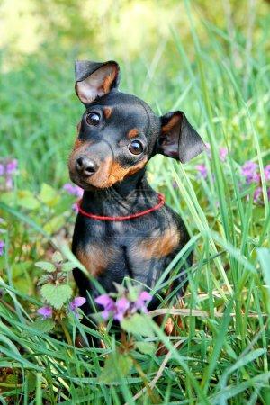 The Miniature Pinscher puppy, 3 months old...