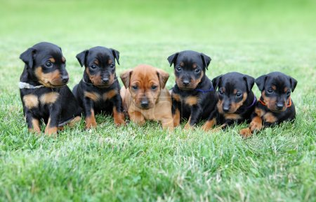 The Miniature Pinscher puppies, 1 months old...