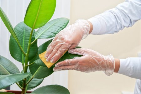 Photo for Hand at gloves cleaning ficus plant by wet sponge - Royalty Free Image