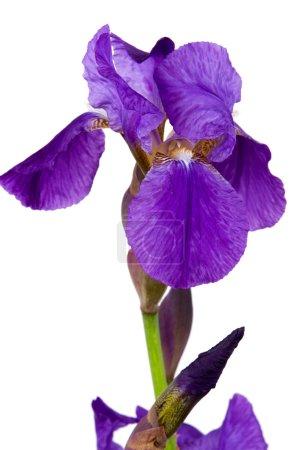 Photo pour Belle fleur d'iris violet foncé isolée sur fond blanc - image libre de droit