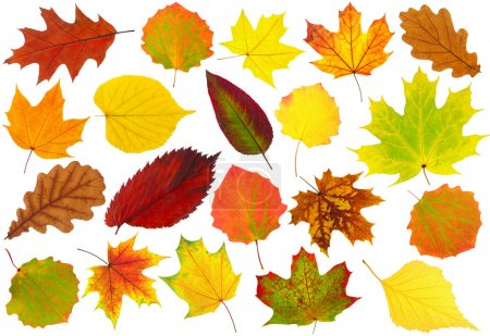 Photo for Colorful autumn leaves collection isolated on white - Royalty Free Image