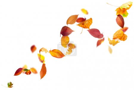 Photo for Colorful autumn leaves falling and spinning in the wind on white - Royalty Free Image