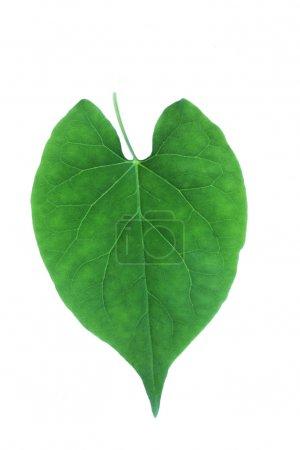 Photo pour Feuille vert isolé avec fond blanc - image libre de droit