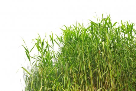 Photo for Close-up view of reed along the water's edge - Royalty Free Image