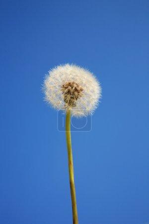 Dandelion with sky