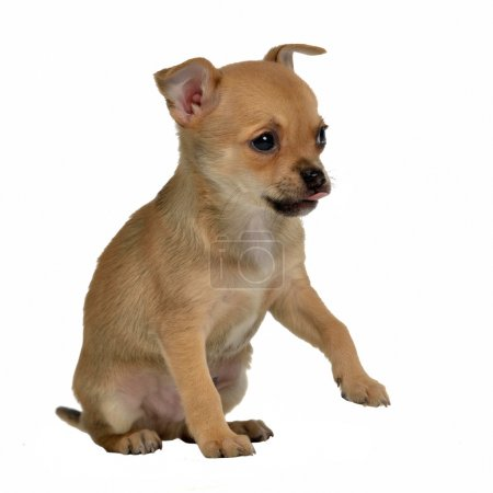 Chihuahua puppy holding paw up to shake