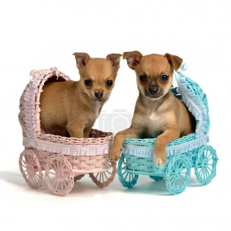 Photo for Puppies male and bitch in baby carriages, isolated on white - Royalty Free Image