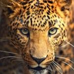 Leopard portrait...