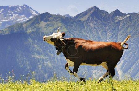 Photo pour Course de vache heureuse et sauter d'hiver stable dans pré - image libre de droit