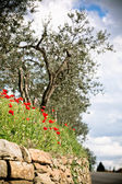 Tuscan Poppies and Olive trees