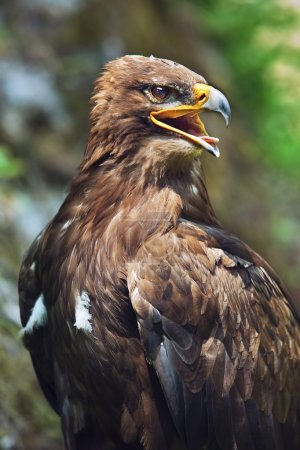 The Steppe Eagle (Aquila nipalensis) - portrait.