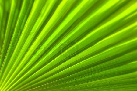Photo pour Un gros plan de vue sur une feuille de palmier - macro - image libre de droit
