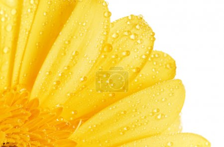 Photo for Yellow gerbera daisy isolated on white background - Royalty Free Image
