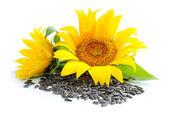 žluté slunečnice a slunečnicová semena na bílém pozadí