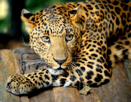 Photo for Leopard portrait - Royalty Free Image