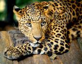 """Постер, картина, фотообои """"портрет леопарда"""""""