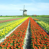 Windmill with tulip field near Schermerhorn, Netherlands
