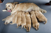 Női kutya-ból Arany-Vizsla kölykök