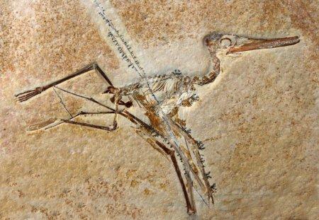 Pterodactylus Elegans Fossil