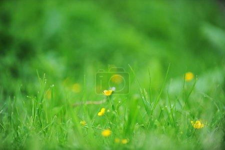 Foto de Flores amarillas, florece en el campo agrícola primavera - Imagen libre de derechos
