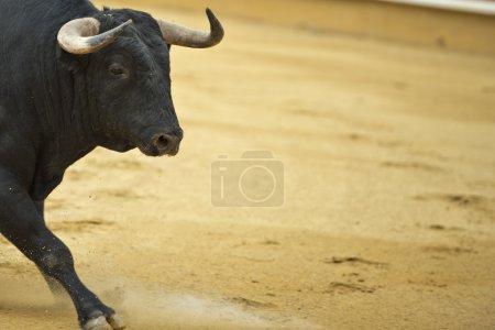 Bull in the bullring.