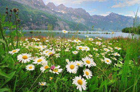 Daisy flowers near the Alpine lake