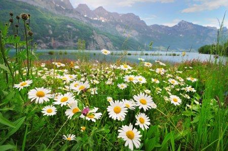 Photo pour Prairie alpine avec de belles fleurs de marguerite près d'un lac dans le maountais - image libre de droit