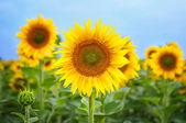 Slunečnice v poli, přední pohled