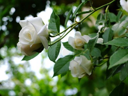 Beautiful white roses in the garden, Bulgaria...