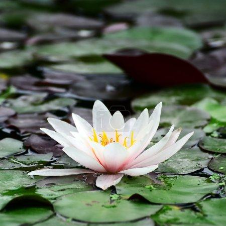 Photo pour Lis d'eau dans le lac. - image libre de droit