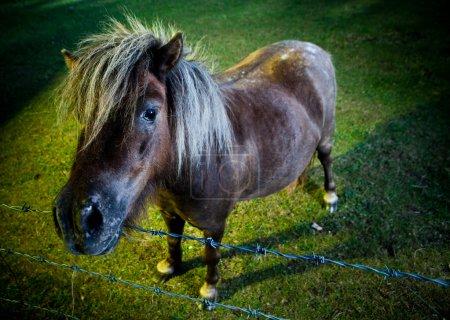 Photo pour Brun debout cheval ou poney dans son paddock vert luxuriant éclairée par la lumière du soir - image libre de droit