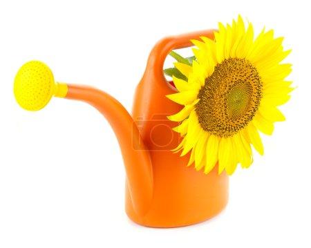Foto de Girasol amarillo grande en naranja de riego puede / aislado en blanco - Imagen libre de derechos