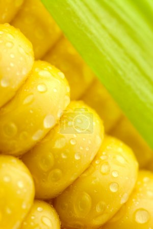 Grains of Ripe Corn with Green Leaf/ Extreme Macro / Yellow back