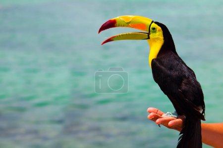 Mexican Caribbean Toucan
