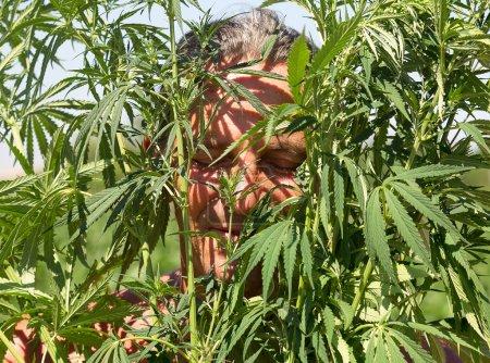 Tanned man in the bush cannabis, summer