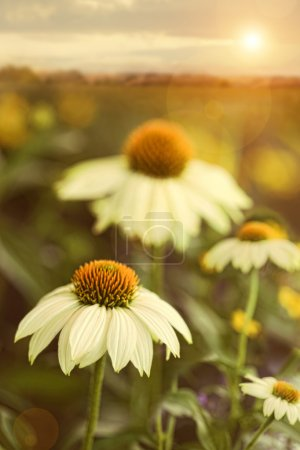 Photo for Summer flowers in field - Royalty Free Image