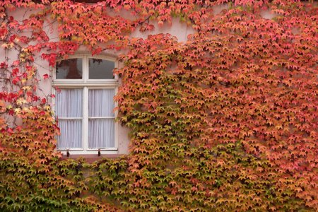 Colored leaves of the wild vine on house wall