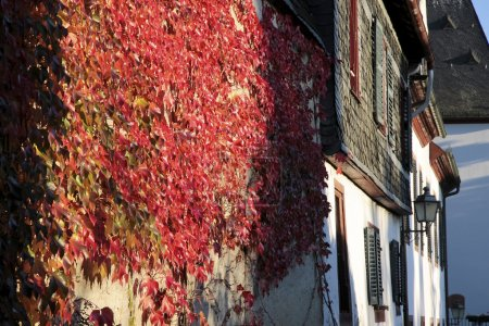 Red vine leaves on a wall