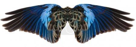 Photo pour Ailes de perroquet bleu isolées sur blanc - image libre de droit