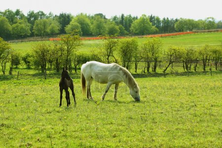 Two horses, a mare and a colt in Spring pasture