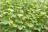 Uborka növény virágzás üvegházhatású