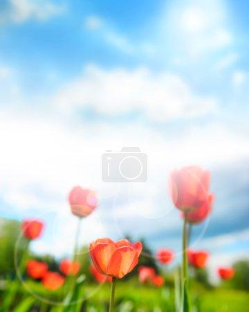 Photo pour Belles tulipes contre ciel dramatique - image libre de droit