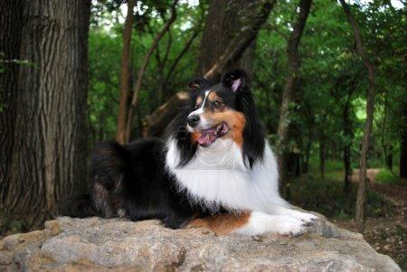 Happy Sheltie Dog Lays on Rock