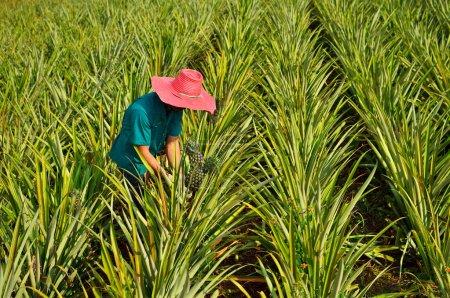 Photo pour Récolte des agriculteurs dans la ferme d'ananas, champ de fruits - image libre de droit