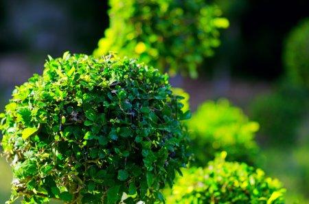 Photo pour Buissons taillés dans un jardin. - image libre de droit
