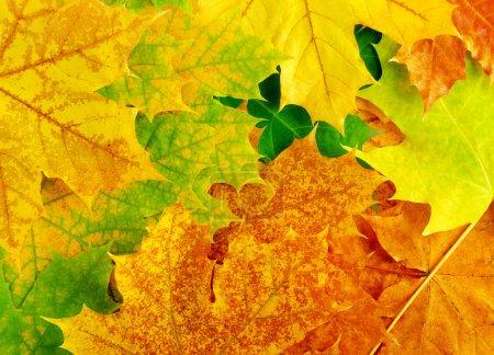 Photo pour Feuilles d'érable automne coloré. fond. - image libre de droit
