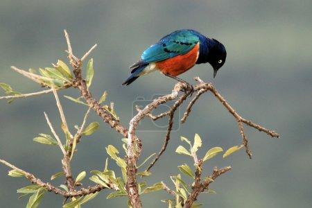 Photo pour Splendide Starling - Parc national Maasai Mara au Kenya, Afrique - image libre de droit
