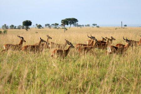 Photo pour Antilope Impala à murchison falls réserve safari parc national en Ouganda - la perle de l'Afrique - image libre de droit