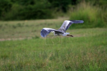 Stork - Murchison Falls NP, Uganda, Africa